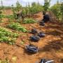 2020年早生喜水梨樹苗銷售、早生喜水梨樹苗行情