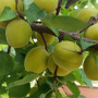 荷兰香蜜杏树苗2019年多少钱、荷兰香蜜杏树苗批发出售