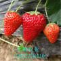 草莓苗生产苗价格