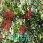奶油草莓苗長期銷售、奶油草莓苗價格及購買