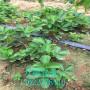 章姬草莓苗批發價格、章姬草莓苗價位