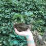 脫毒草莓苗多少錢、脫毒草莓苗種植基地