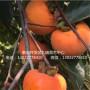 宝盖柿子树苗价格多少、宝盖柿子树苗基地供应