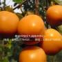 次郎甜柿柿子苗多少钱、次郎甜柿柿子苗基地直销
