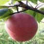 意大利黑梨梨树苗购买价格、意大利黑梨梨树苗购买