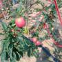 柱状苹果苗每日报价 、柱状苹果苗批发