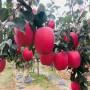 3公分蘋果樹苗品種介紹、3公分蘋果樹苗2019年價格
