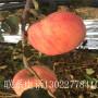 山東2001蘋果樹苗、2001蘋果樹苗價格