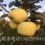 山东3公分占地苹果树、3公分占地苹果树出售价格