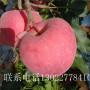 山东1公分苹果树苗、1公分苹果树苗哪里出售