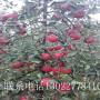 優良蘋果樹苗價格、優良蘋果樹苗哪里有賣