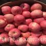 3公分蘋果樹苗價格及報價、3公分蘋果樹苗確切價格