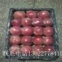 瑞雪苹果苗什么时候种植、瑞雪苹果苗确切价格