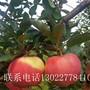 山东华硕苹果树苗、华硕苹果树苗基地