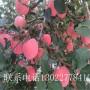 1公分苹果树苗简介、1公分苹果树苗种植基地