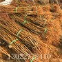 2020年阳山水蜜桃树苗供应商、阳山水蜜桃树苗哪里出售