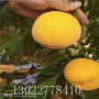 中油蟠7号桃树苗什么时候种植、中油蟠7号桃树苗价格公示
