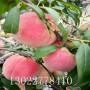 中蟠13桃树苗哪里有卖、中蟠13桃树苗购买电话