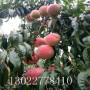 金蘋美油蟠桃樹苗怎么賣、金蘋美油蟠桃樹苗今年報價
