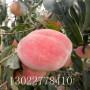 中油蟠5桃树苗什么时候种植、中油蟠5桃树苗品种介绍
