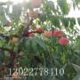 陽山水蜜桃樹苗2020年價格、陽山水蜜桃樹苗哪里好