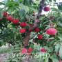 大紅桃樹苗出售、大紅桃樹苗繁育基地
