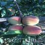 黃金蜜0號桃樹苗出售供應