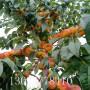 夏甜桃樹苗多少錢批發、夏甜桃樹苗哪里出售