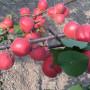 金太陽杏樹苗新型 、金太陽杏樹苗準確價格