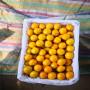 荷蘭香蜜杏樹苗價格多少、荷蘭香蜜杏樹苗哪里有