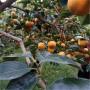 甜柿子樹苗基地、甜柿子樹苗供應商基地