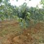 绿心猕猴桃树苗准确价格、绿心猕猴桃树苗购买价格