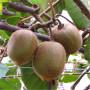 金艷獼猴桃苗出售、金艷獼猴桃苗什么價格