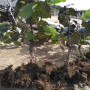 翠玉猕猴桃树苗哪里卖、翠玉猕猴桃树苗准确价格