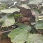 贵长猕猴桃树苗2020年价格、贵长猕猴桃树苗出售供应
