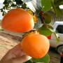 2020年甜脆柿子苗批发、甜脆柿子苗行情基地