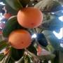 2020年黑柿子苗價格、黑柿子苗包郵價格