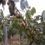 2020年黄心猕猴桃苗今年价格、黄心猕猴桃苗价格公示