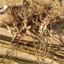 翠玉猕猴桃树苗哪里有、翠玉猕猴桃树苗长期批发
