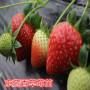 头条:印度卡草莓苗报价/价格  新闻:寻乌县印度卡草莓苗繁育技术