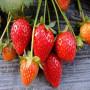 头条:莓宝草莓苗报价/价格  新闻:寻乌县莓宝草莓苗木繁殖技术