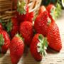 頭條:春旭草莓苗報價/價格  新聞:新野縣春旭脫毒草莓苗