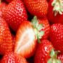 頭條:達斯萊克特草莓苗報價/價格  新聞:新野縣達斯萊克特買回來的草莓苗怎么種