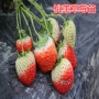 头条:美德莱特草莓苗报价/价格  新闻:寻乌县美德莱特草莓苗图片