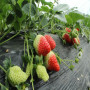 头条:宝交草莓苗报价/价格  新闻:鲁山县宝交草莓苗什么时候种植