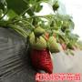 头条:四季草莓苗报价/价格  新闻:寻乌县四季牛奶草莓苗图片