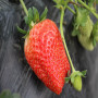 头条:佐贺清香草莓苗报价/价格  新闻:新野县佐贺清香草莓苗价格多少钱一棵