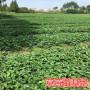 頭條:法蘭地草莓苗報價/價格  新聞:尋烏縣法蘭地草莓苗的種植方法