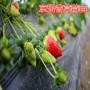 平舆县:加州黑无花果根生苗价格热点报道