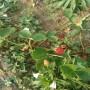 头条:戈雷拉草莓苗报价/价格  新闻:鲁山县戈雷拉草莓苗木繁殖技术
